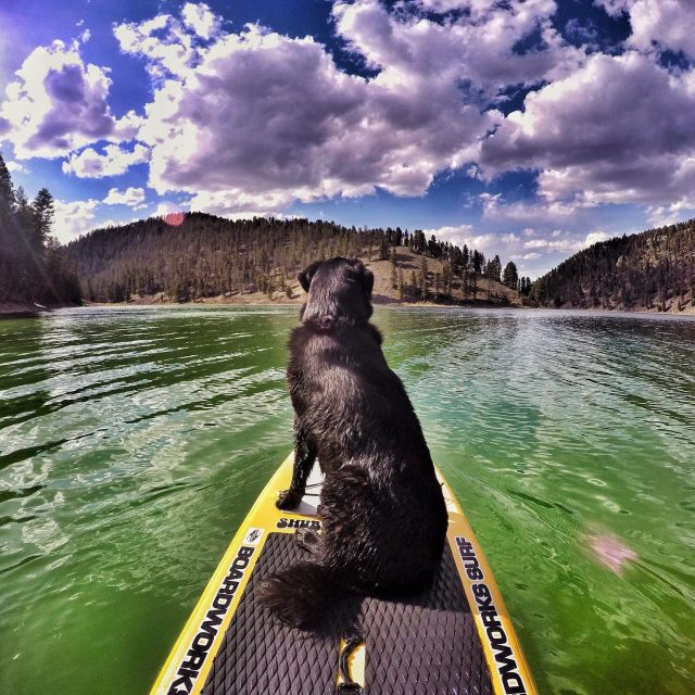 SUP n' pup days just ahead!⛅️❤️ Our rental fleet will be ready soon for all your summer play!😎 #madisonriver #gallatinriver #yellowstoneriver #riverdays #standuppaddleboarding #sups #standuppaddleboards #montanasummer #montana #mtwhitewater #mtww